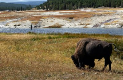 Yellowstone River with Buffalo